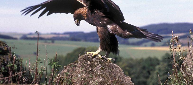 Illustration d'un aigle royal.