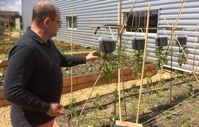 Philippe Capdevielle surveille avec attention ses tomates suspendues.