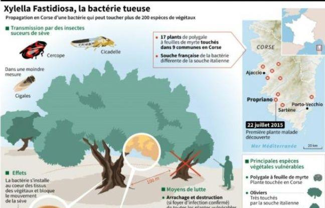 Xylella Fastidiosa, la bactérie tueuse