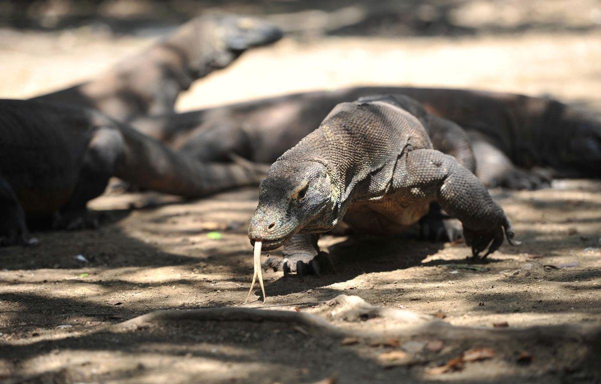 Un dragon de Komodo en liberté dans le Parc national de Komodo, formé par plusieurs îles volcaniques et situé dans le centre de l'Indonésie. – CHINE NOUVELLE/SIPA