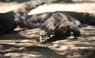 Un dragon de Komodo en liberté dans le Parc national de Komodo, formé par plusieurs îles volcaniques et situé dans le centre de l'Indonésie.