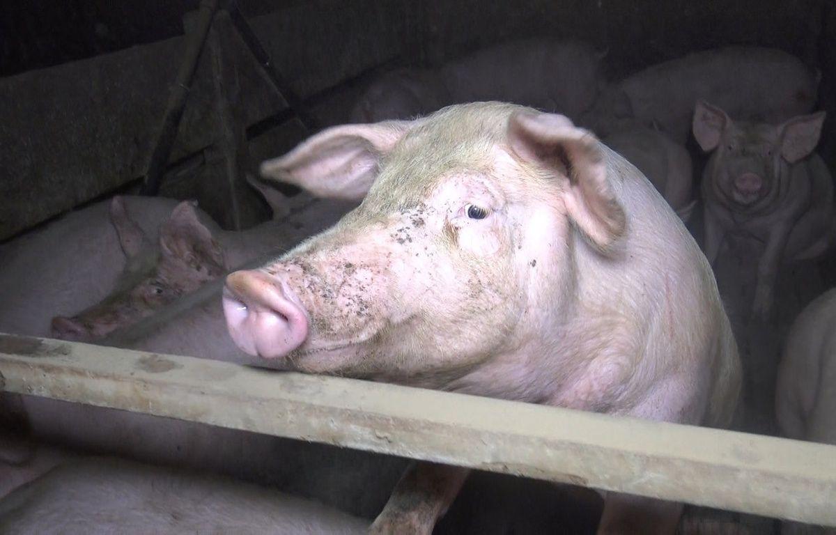 Image prise par l'association L214 dans un élevage de porcs du Finistère. – L214