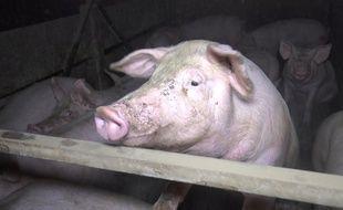Image prise par l'association L214 dans un élevage de porcs du Finistère.