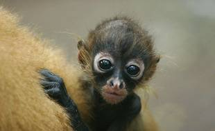 Un bébé singe araignée, que l'on trouve en Amérique du Sud, est une espèce en voie de diminution.