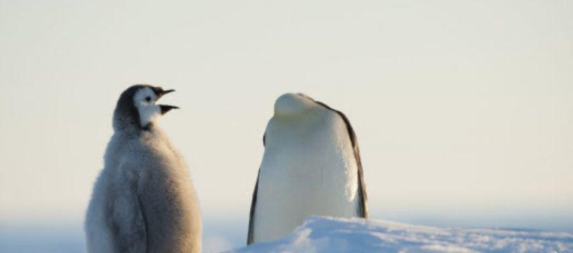 Deux jeunes pingouins empereurs en Antarctique.