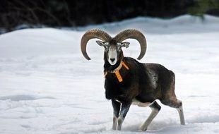 Le mouflon Corse est une espèce endémique, qu'il faut différencier du mouflon méditerranéen.