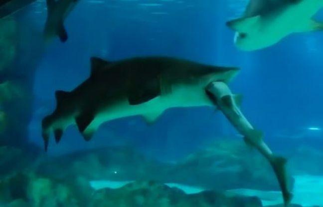Une dispute territoriale tourne mal entre deux requins en Corée du Sud.