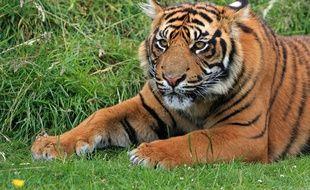 La tigresse nommée « Kala » est morte électrocutée (illustration).
