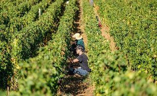 Les vendanges dans les vignes de Bourgogne. (archives)