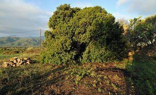 Le pistachier lentisque de Ghisonaccia (Haute-Corse), élu arbre de l'année 2011.