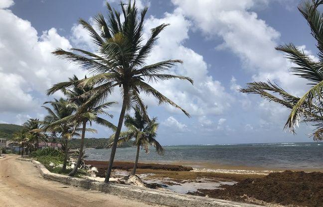 Fléaux des Antilles, les algues sargasses pourront-elles devenir des ressources ?