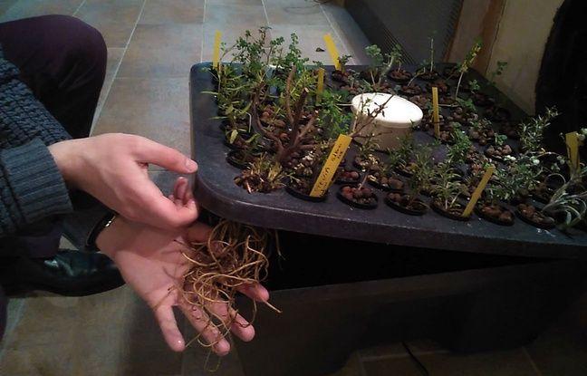 Paris, le 27 février. Les plantes aromatiques cultivées en hydroponie échappent aux polluants présents dans la terre.