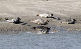 Des phoques photographiés sur une plage à Berck-sur-Mer (62).