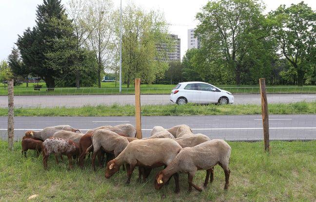 Des moutons près de la place d'Haguenau à Strasbourg ou l'écopâturage, une solution alternative pour le désherbage. Strasbourg le 23 avril 2019.