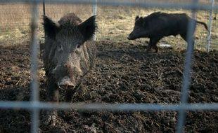 Deux cochons sauvages piégés, dans une ferme du compté de Washington, le 27 janvier 2019