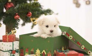 Illustration d'un bichon maltais dans une boîte à cadeau de Noël.