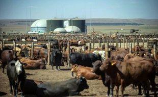 Un troupeau de vaches près d'une usine Bio2Watt à Pretoria en Afrique du Sud le 3 novembre 2015