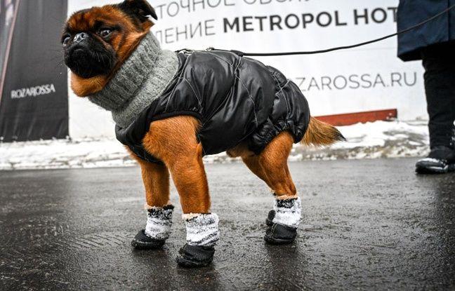 Un chien protégé du froid en Russie à Moscou.