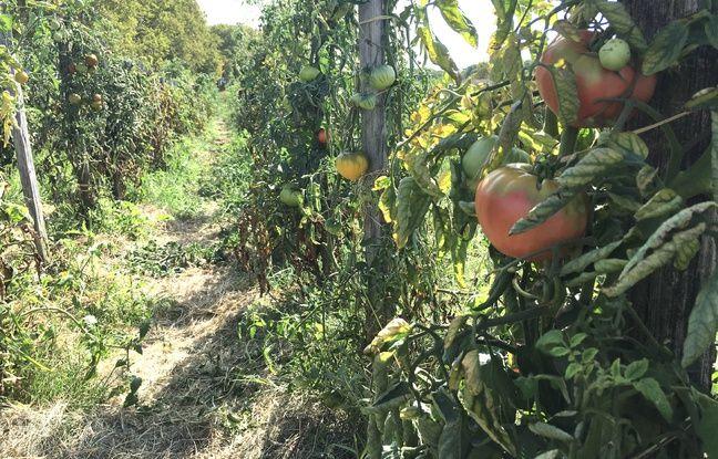 Château Guiraud a planté près de 500 pieds d'espèces différentes de tomates, pour expliquer l'importance de la biodiversité.