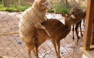 Dans un zoo chinois, un bélier et une biche se sont accouplés à plusieurs reprises.