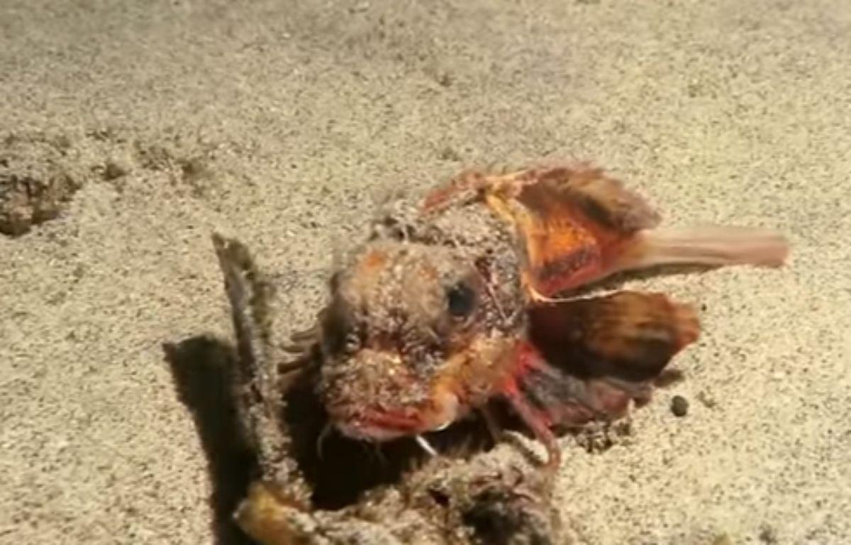 Un plongeur découvre un poisson doté de jambes pour marché dans le fond de l'eau – Screenshot National Geographic