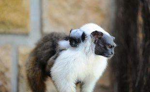 Deux tamarins bicolores sont nés depuis le début du mois d'avril 2011 au parc zoologique de Lyon.