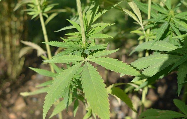 Vosges: Il porte plainte pour un vol de plant de... cannabis