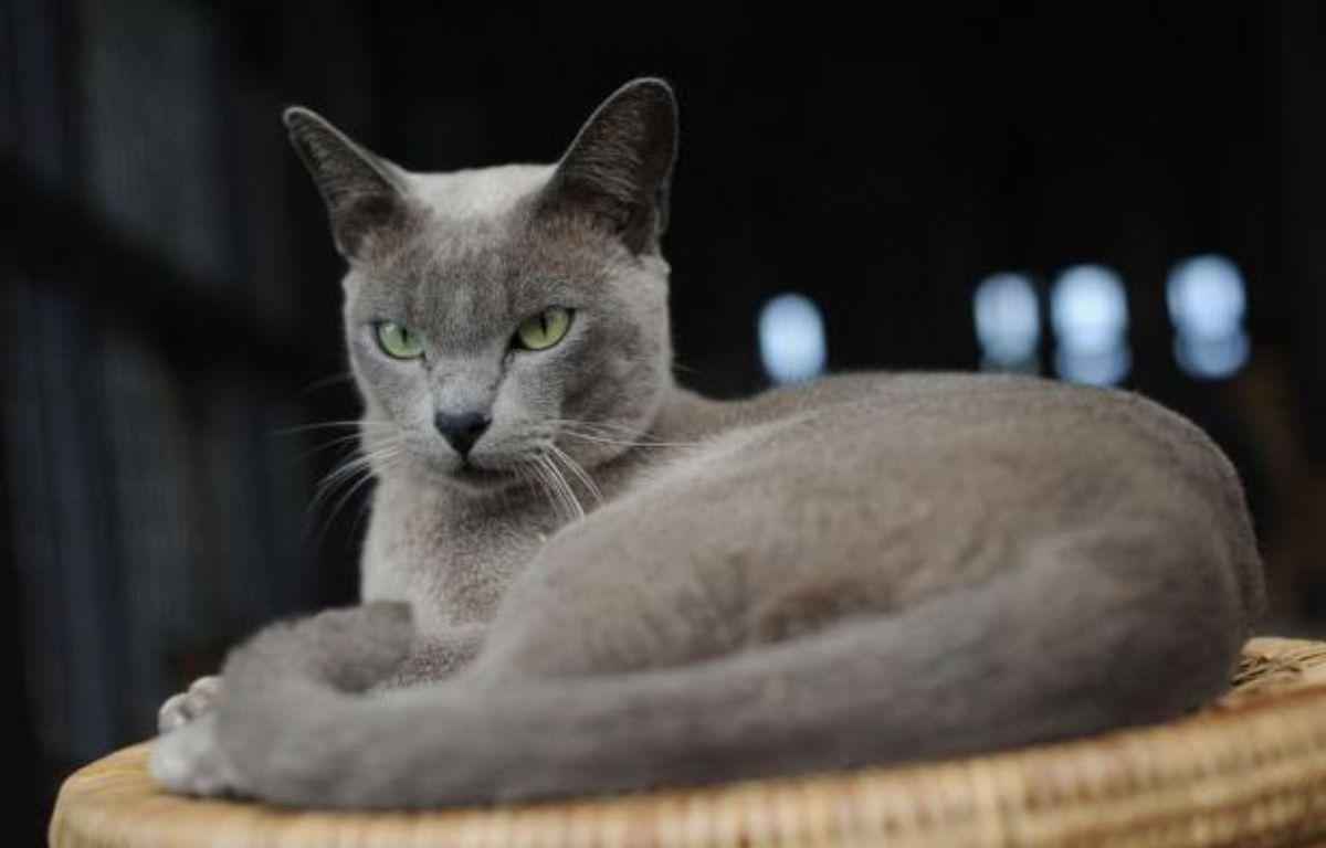 Ils ressemblent aux chats siamois -- au moins pour les néophytes -- et sont inconnus ou presque de leurs contemporains, mais les chats birmans existent: il en reste une poignée en Etat shan, dans l'est du pays dont ils portent le nom. – Soe Than Win afp.com