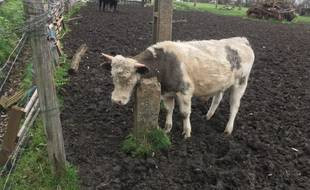 Une des vaches de l'exploitation agricole de Wambrechies, dans le nord.