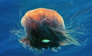Une méduse à crinière de lion.