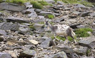 Des chèvres sauvages à Lynton, au Royaume-Uni. (illustration)