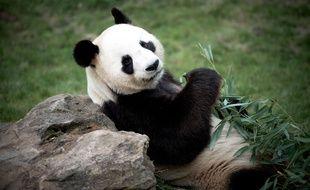 Les pandas de Beauval sont arrivés en janvier 2012 dans le parc du Loir-et-Cher.