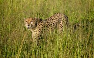 Illustration d'un léopard au Kenya.