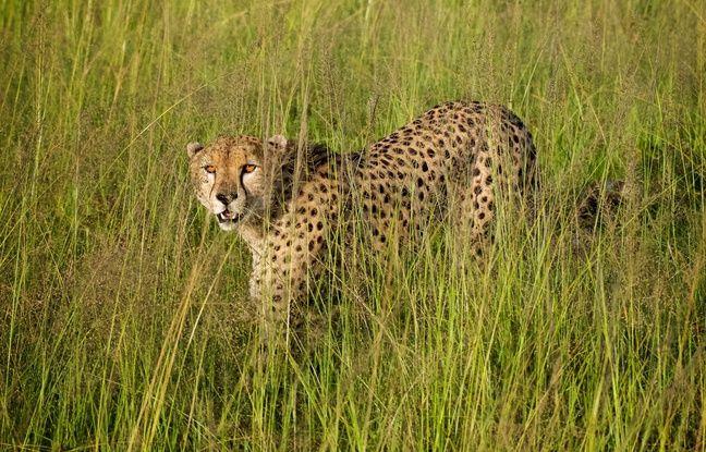 648x415 illustration leopard kenya