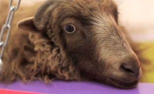 Des étudiants d'art berlinois menacent de décapiter un mouton.