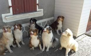 Les bergers australiens de l'association des chiens du silence qui aide les personnes sourdes.