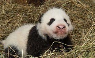 Le bébé panda du zoo de Vienne, le 31 octobre 2013.
