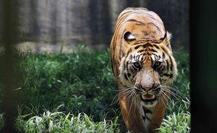 Un tigre de Sumatra dans un zoo indonésien.