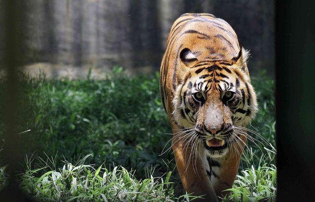 Indonésie: Un homme arrêté après avoir tenté de vendre la peau d'un tigre de Sumatra