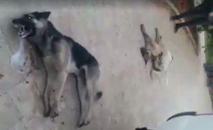 Au Liban, des chiens ont été empoisonnés par des employés municipaux