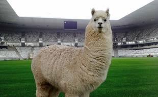 Un lama comme mascotte du Nouveau Stade de Bordeaux? Sérieux?