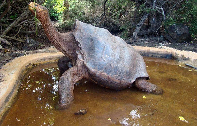 Diego, tortue géante des Galápagos et « serial lover » prend sa retraite après avoir sauvé son espèce