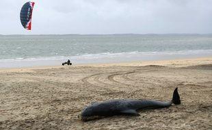 Un dauphin pilote échoué, ici sur une plage d'Arcachon (illustration).