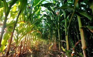 Les Etats de l'UE sont appelés jeudi à se prononcer sur une demande de commercialisation d'un maïs transgénique destiné à l'alimentation humaine et animale en pleine polémique sur les protocoles d'autorisation des OGM, a-t-on appris de source communautaire.