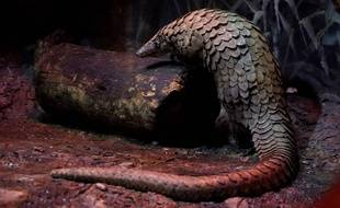 Biggie, le pangolin du Brookfield Zoo à Chicago. (Illustration)