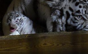 Un des trois tigres nés au zoo d'Amnéville en février 2018.