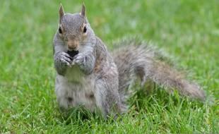Un écureuil dans un parc de Londres. (Illustration)