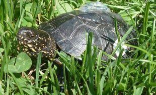 Une tortue cistude d'Europe avec sur sa carapace un enregistreur de comportement.