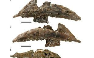 Les ossements du « Galleonosaurus dorisae » retrouvé en Australie.