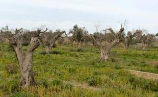 """Des oliviers infectés par la bactérie """"Xylella Fastidiosa"""" à Gallipoli, près de Lecce dans les Pouilles en Italie"""